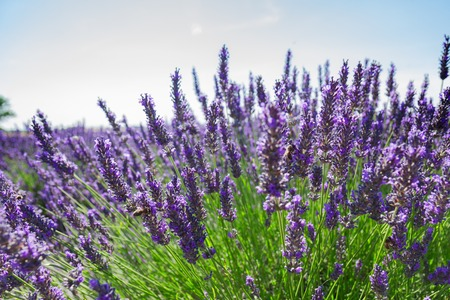 Lavender growing bush with flowers close up in summer field, France