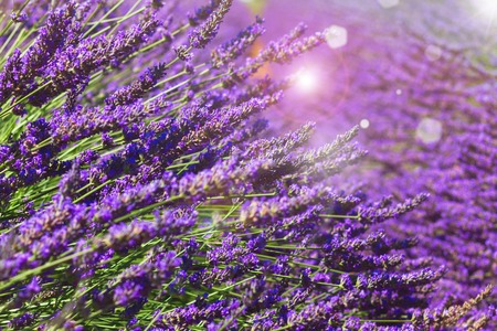 Lavender growing flowers close up in summer field with sunshine, France Stock Photo