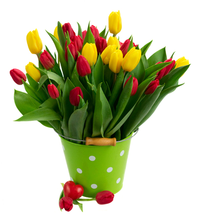fresh yellow and red tulips with green leaves in metal pot isolated on white background Stock Photo