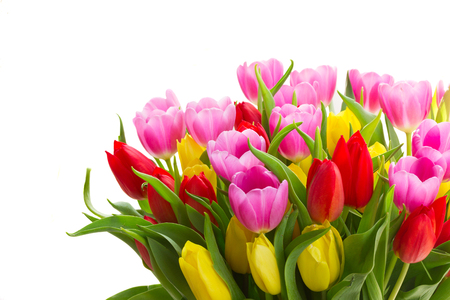 blooming violet, yellow and red tulip flowers with green leaves close up isolated on white background