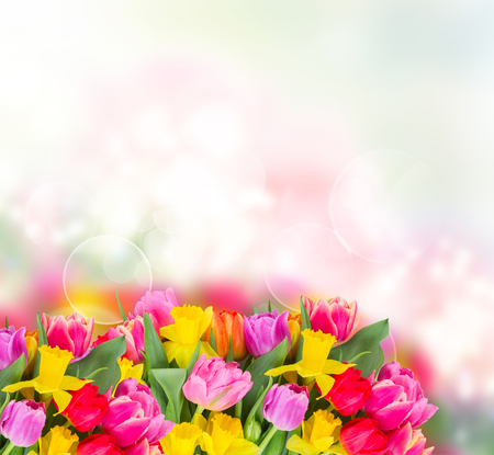 fresh pink, purple and red tulips and yellow daffodils border with copy space on bokeh background