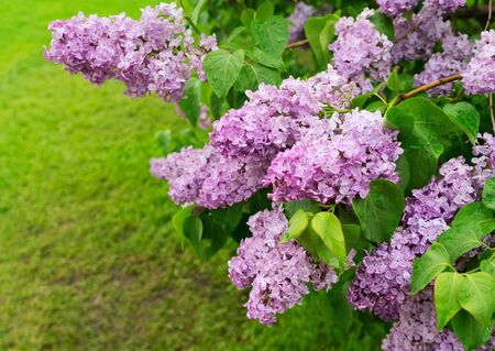 Lilac blooming tree with violet flowers, green leaves and grass