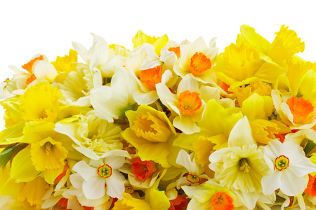 Fresh spring Light and dark yellow daffodils border isolated on white background Stock Photo