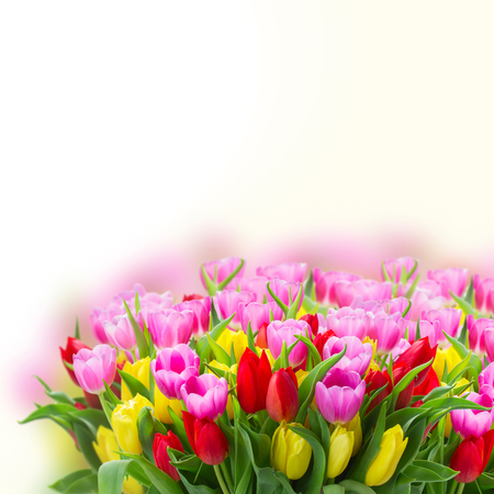 fresh blooming violet, yellow and red tulip flowers with green leaves close up over white background