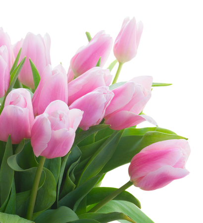 bunch of fresh pink tulips close up isolated on white background Stock Photo