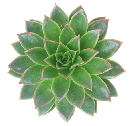 One Succulent fresh green plant isolated on white background