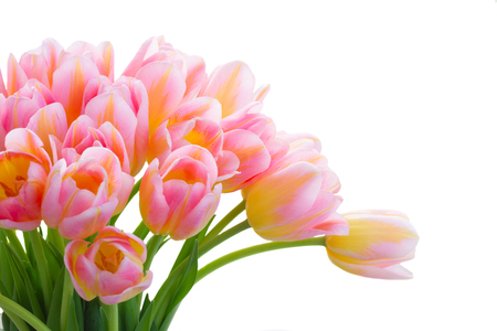 Bouquet of fresh pink and yellow tulips close up isolated on white background
