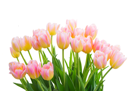 ow of fresh pink and yellow tulips close up isolated on white background Stock Photo