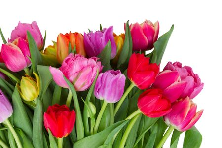 fresh pink, purple and red tulips flowers isolated on white background