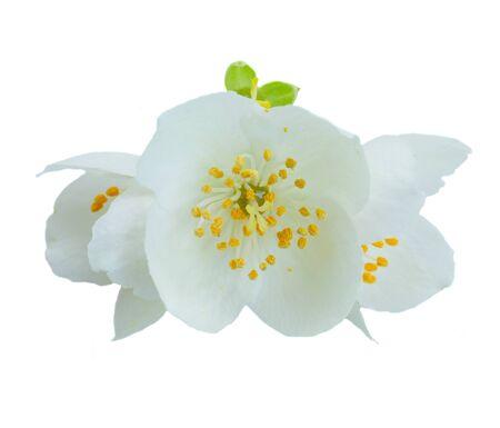 Jasmine fresh flowers isolated on white background Stock Photo