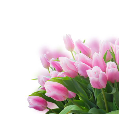 Bouquet of pink fres tulips close up over white background Stock Photo
