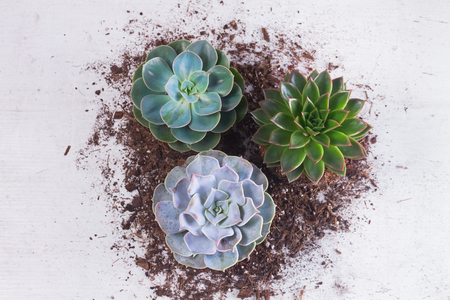Succulent growing green plants with ground on white wooden background