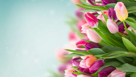 bunch of pink tulips on blue sky background banner Stock Photo