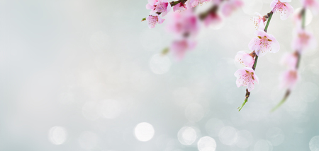 Cherry tree branch with blooming flowers in garden over bokeh background banner