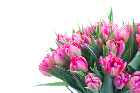 Bouquet of bright pink tulips and green leaves close up isolated on white background