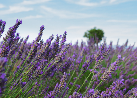 Lavender growing flowers close up with tree in background, France Stock Photo