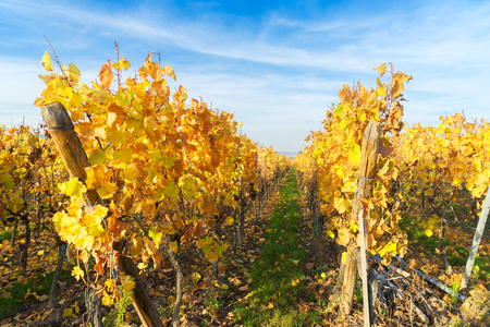 Landscape with yellow autumn vineyards of Route des Vin, France, Alsace