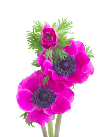 Fresh pink Anemones flowers posy isolated on white background