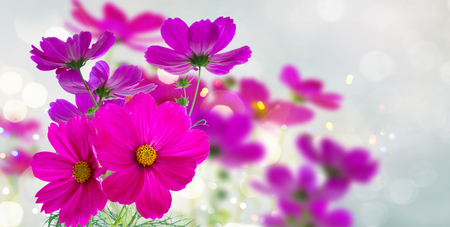 asteraceae: Cosmos fresh dark pink flowers and leaves banner Stock Photo