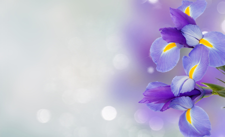 blue irises flowers close up over blue background banner Stock Photo