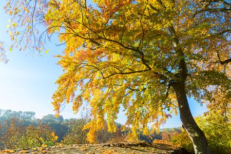 Vibrant yellow Alder golden fall tree at sunny fall day Stock Photo