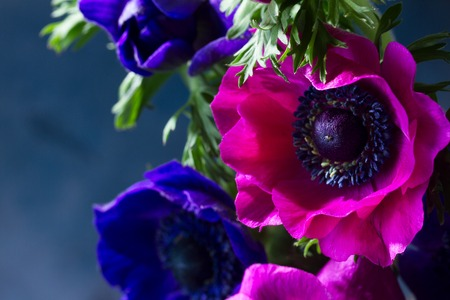 Fresh colorful Anemones pink and blue flowers close up, low key Stock Photo