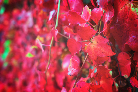 fall bright Hedera ivy red vine leaves background, retro toned Stock Photo