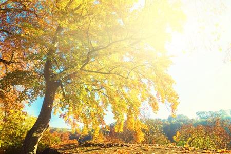 Vibrant yellow Alder golden fall tree at sunny fall day, retro toned Stock Photo