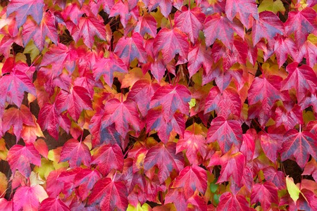 autumn bright Hedera ivy red vine leaves background