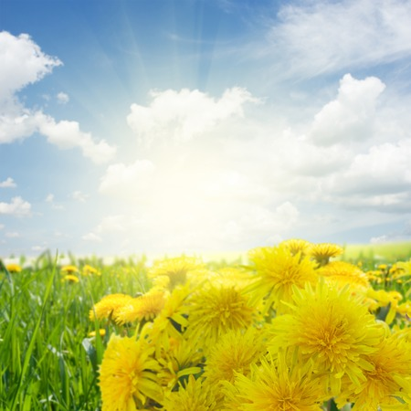 Bunch of Yellow fresh dandelions border, summer meadow in background