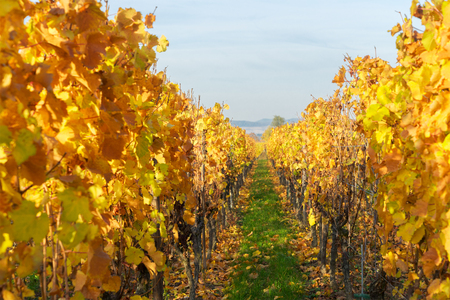 Landscape with bright yellow autumn vineyards of Route des Vin, France, Alsace Stock Photo