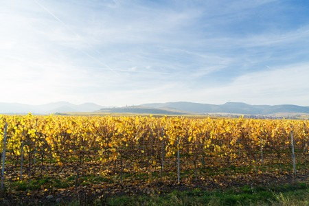 Landscape with fall vineyards of Route des Vin, France, Alsace Stock Photo