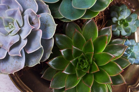 Succulent growing plants in metal plate close up Stock Photo
