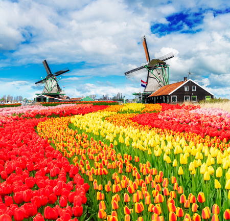 two traditional Dutch windmills of Zaanse Schans and rows of fresh tulips, Netherlands