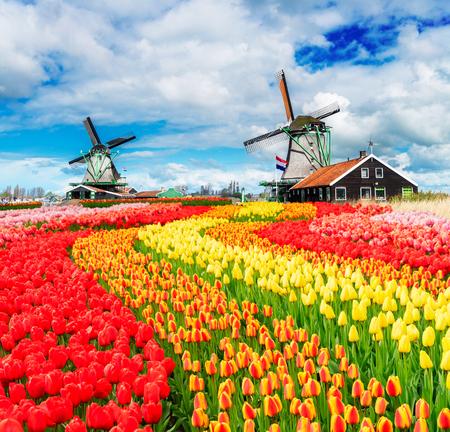 Deux moulins à vent hollandais traditionnels de Zaanse Schans et rangées de tulipes fraîches, Pays-Bas Banque d'images