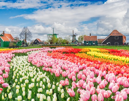 rural dutch country skyline of small old town Zaanse Schans and tulips fields, Netherlands Stock Photo