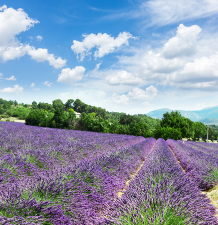 Lavender blomming flowers field with summer blue sky and clouds, France Stock Photo