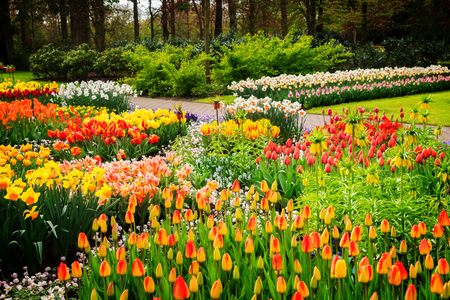 Colourful Growing tulips and daffodils Flowerbeds in an Spring Formal Garden, retro toned