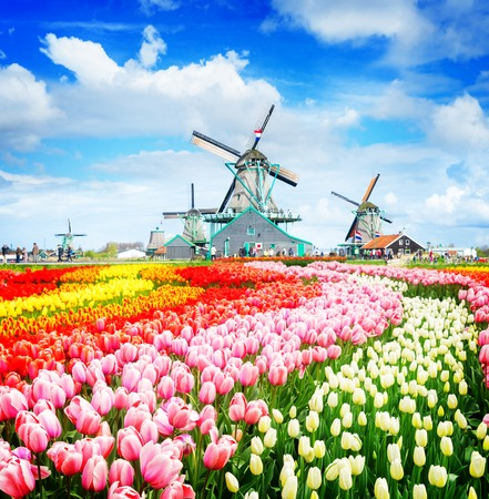 three traditional Dutch windmills of Zaanse Schans and rows of tulips, Netherlands, retro toned