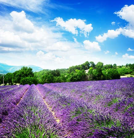Lavender blomming flowers field with summer blue sky and clouds, France, retro toned Stock Photo
