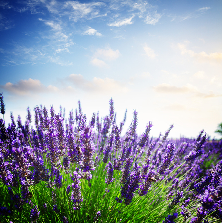Lavender growing bush with flowers close up in summer field under sunset sky, France