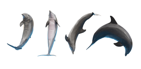 Row of jumping and leaping dolphins isolated on white background Stock Photo