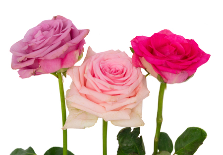 Mauve, pink and violet blooming fresh rose flowers isolated on white background