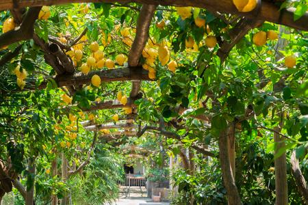Fruits in Lemon garden of Sorrento at summer