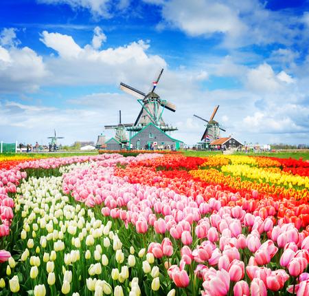 ザーンセ スカンスの風車とチューリップ、オランダ、レトロ調の行の伝統的なオランダ風車のある風景します。 写真素材