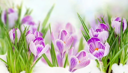 spring crocuses flowers under snow on bokeh background banner Stock Photo