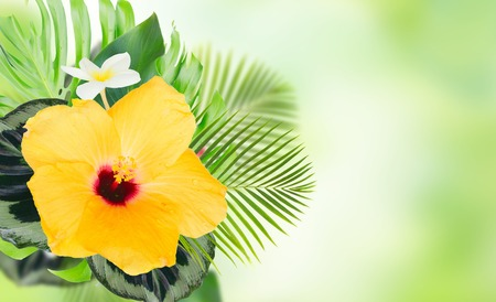 tropical fresh flowers and leaves - fresh yellow hibiscus and frangipani flowers and exotic tropical leaves on green bokeh background banner