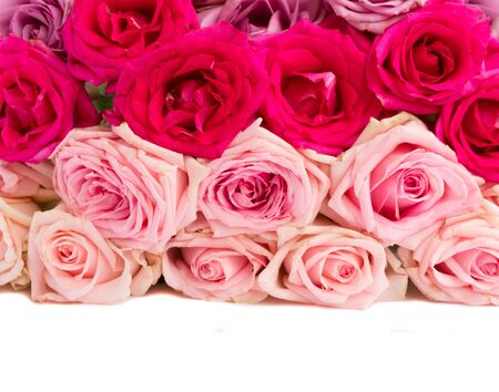 Bunch pink and violet blooming fresh rose flowers border isolated on white background with copy space