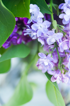 Lilac blooming tree close up macro background Stock Photo