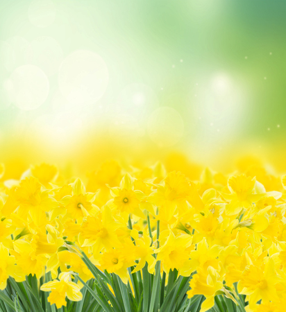 spring yellow narcissus in garden on green bokeh background